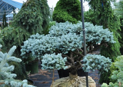 Blue Spruce Bonsai
