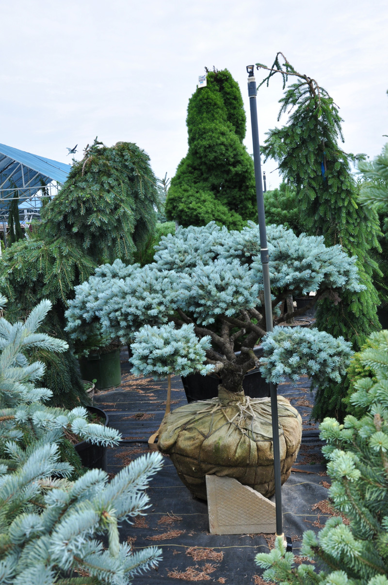Blue Spruce Bonsai Meadow Acres Garden Centre