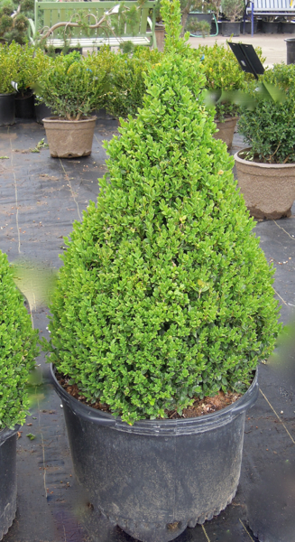 Clipped Cone Boxwood