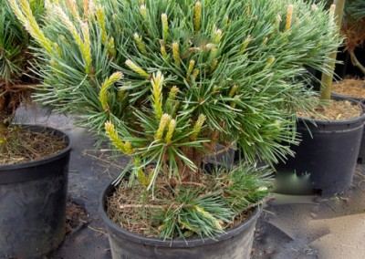 Dwarf Blue Scotch Pine