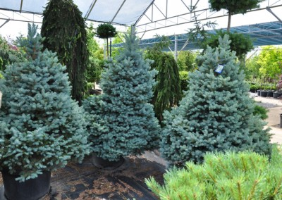Dwarf Spruce Fully Grown