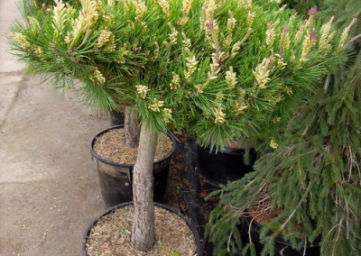 Japanese Table Top Pine