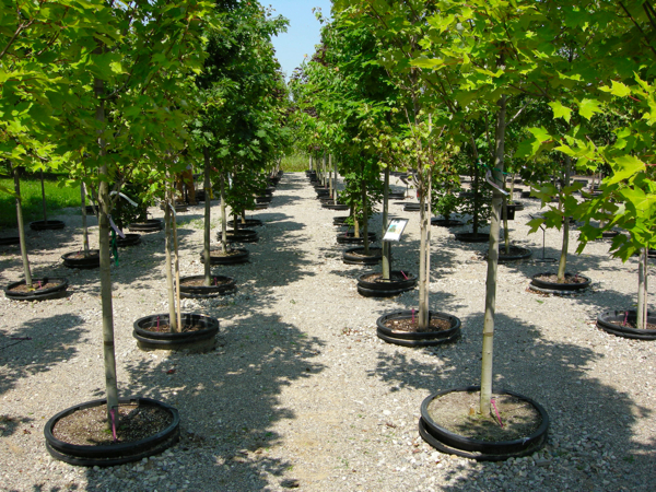 Nursery Stock Trees