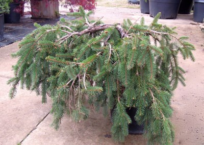 Weeping Norway Spruce